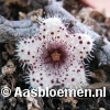 Stapelianthus madagascariensis - STEK
